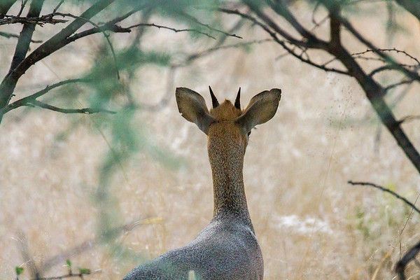 Kirk's dikdik, Madoqua kirkii (Bovidae). Sophienhof, Kunene Namibia Africa