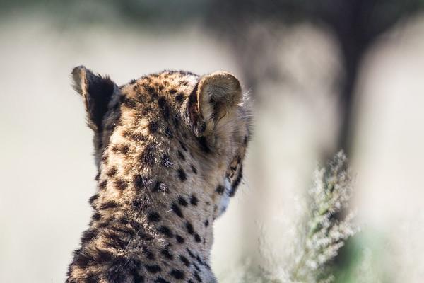 captive cheetah, Acinonyx jubatus (Felidae). Cheetah Conservation Fund, Otjozondjupa Namibia Africa