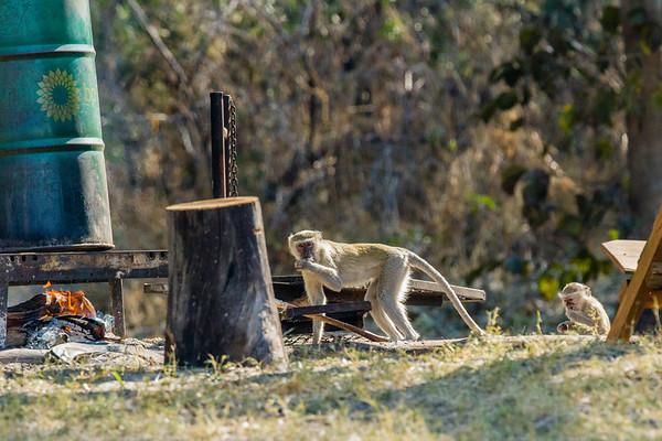 vervet monkey, Ceropithecus (aethiops) pygerythus (Cercopithecidae). Kwando, Kavango Namibia Africa
