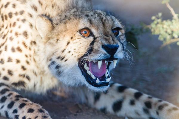 captive cheetah, Acinonyx jubatus (Felidae). Sophienhof, Kunene Namibia Africa