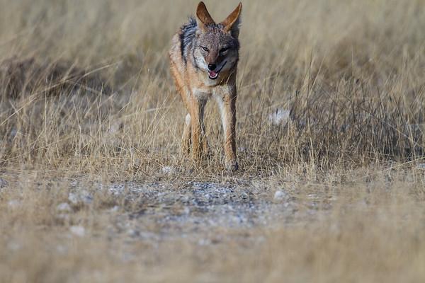 black-backed jackel, Canis mesomelas (Canidae). Etosha N.P., Oshana Namibia Africa