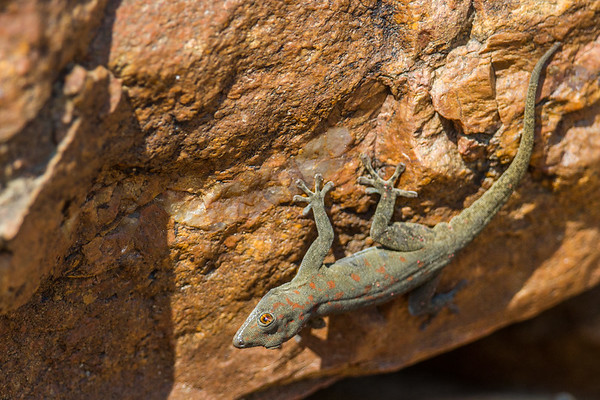 Bradfield's day gecko, Rhoptrophus bradfieldi (Gekkonidae). Epupa, Kunene Namibia