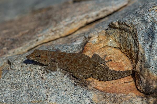 Bradfield's day gecko, Rhoptrophus bradfieldi (Gekkonidae). Erongo Namibia
