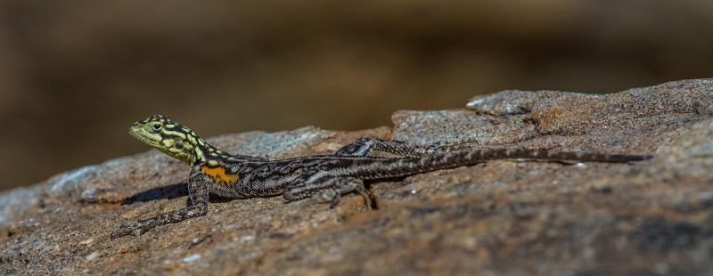 female Nambian rock agama, Agama planiceps planiceps (Agamidae). Erongo Namibia
