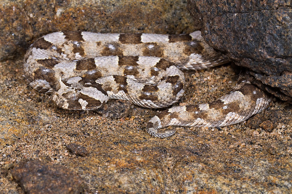 horned adder, Bitis caudalis (Viperidae). Messum Crater, Erongo Namibia