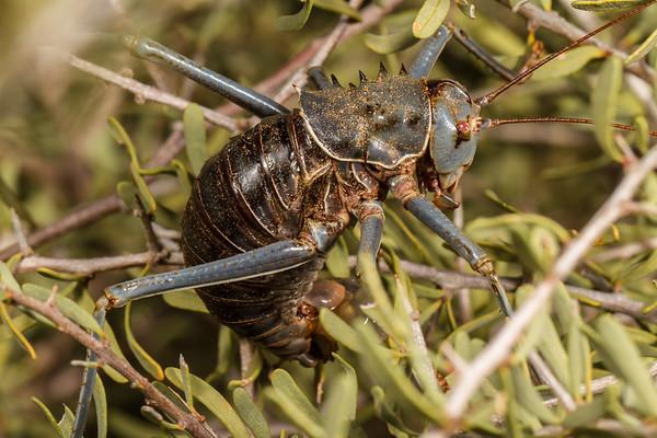 armoured ground cricket, Acanthoplus discoidalis (Bradyporidae Tettigoniidae). Khomas Namibia