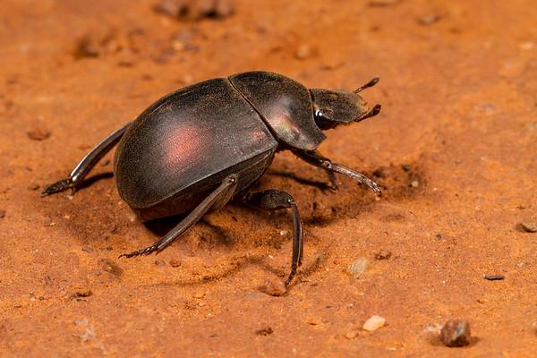 plum dung beetle, Anachalcos convexus (Scarabaeidae). Sophienhof, Kunene Namibia