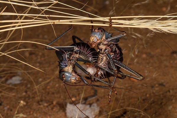 armoured ground cricket, Acanthoplus discoidalis (Bradyporidae Tettigoniidae). Erongo Namibia