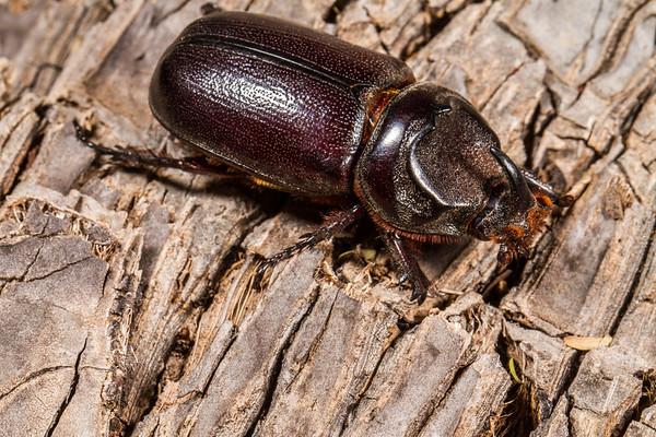 rhinoceros beetle, Oryctes boas (Scarabaeidae). Epupa, Kunene Namibia