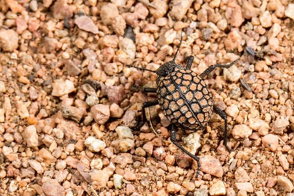 (Tenebrionidae). Epupa, Kunene Namibia