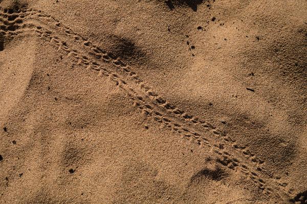 Tenebrionid beetle tracks in sand. Epupa, Kunene Namibia