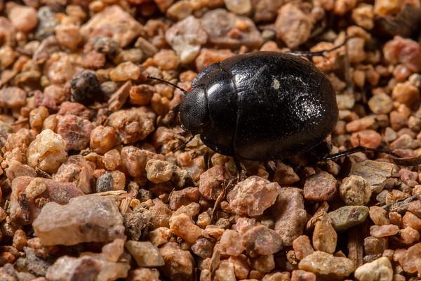 Zophosis moralesi (Tenebrionindae). Epupa, Kunene Namibia