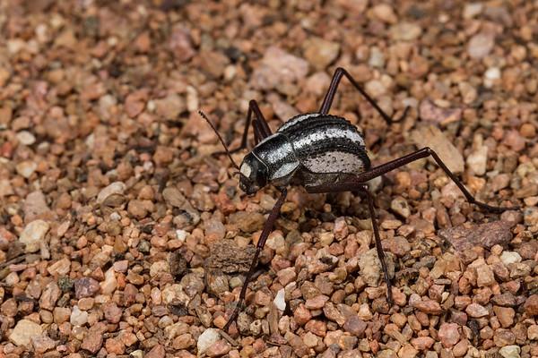 racing stripe darkling beetle, Sternocara gracilipes (Tenebrionidae). Epupa, Kunene Namibia