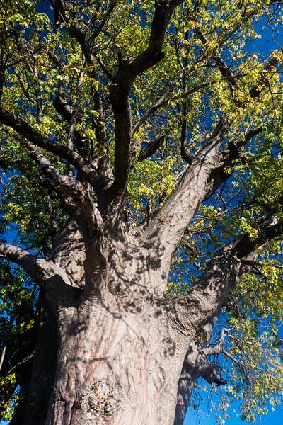 African baobab tree, Adansonia digitata (Malvaceae). Baobab camp, Otjozondjupa Namibia