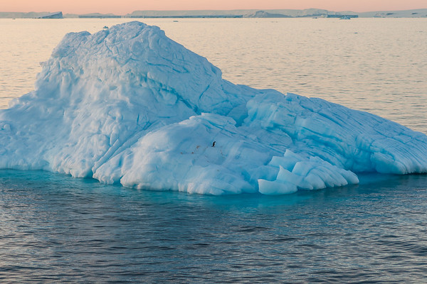 adelie penguin, Pygoscelis adeliae (Sphenisciformes, Spheniscidae). Erebus & Terror Gulf, Weddell Sea Antarctica