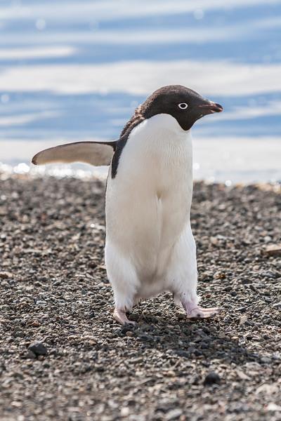adelie penguin, Pygoscelis adeliae Spheniciformes, Speniscidae). Devil Island Antarctica