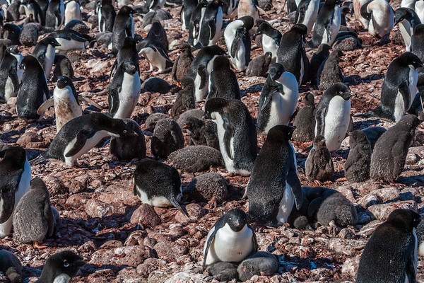 adelie penguin, Pygoscelis adeliae Sphenisciformes, Spheniscidae). Paulet Island Antarctica