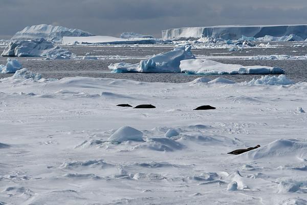 Crabeater Seal, Lobodon carcinopha. Erebus & Terror Gulf, Weddell Sea, Antarctica