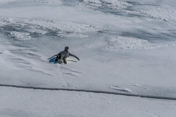 juvenile emperor penguin, Aptenodytes forsteri (Spheniscidae). Erebus & Terror Gulf, Weddell Sea Antarctica