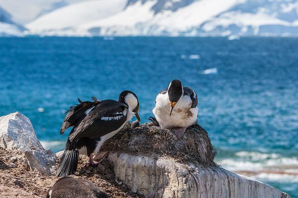Antarctic blue-eyed shag, Phalacrocorax atriceps bransfieldensis (Phalacrocoracidae). Petermann Island Antarctica