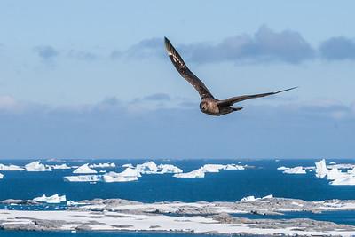 south polar skua, Stercorariidae maccormicki (Stercorariidae). Pleneau Island Antarctica