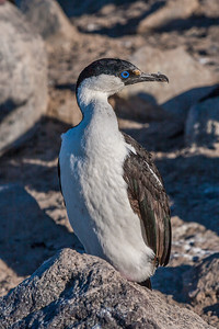 Antarctic blue-eyed shag, Phalacrocorax atriceps bransfieldensis (Phalacrocoracidae). Paulet Island Antarctica