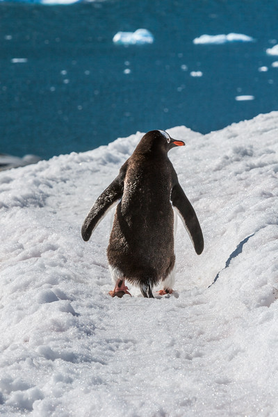 gentoo penguin, Pygoscelis papua (Spheniscidae). Pleneau Island Antarctica