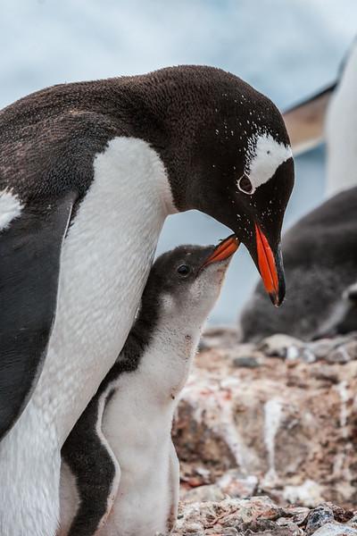 gentoo penguin, Pygoscelis papua (Sphenisciformes, Speniscidae). Port Lockroy, Wiencke Island Antarctica