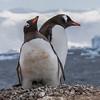 gentoo penguin, <i>Pygoscelis papua</i> (Sphenisciformes, Spheniscidae). Neko-Harbour Antarctica