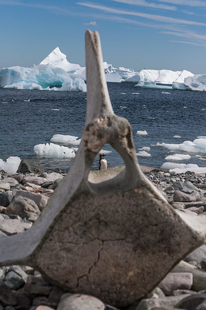 gentoo penguin, Pygoscelis papua (Sphenisciformes, Spheniscidae). Cuverville Island Antarctica