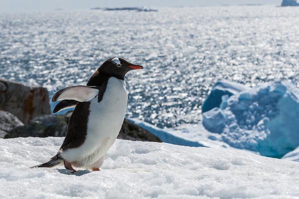 gentoo penguin, Pygoscelis papua (Sphenisciformes, Spheniscidae). Petermann Island Antarctica