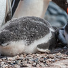 gentoo penguin, <i>Pygoscelis papua</i> (Sphenisciformes, Spheniscidae). Jougla Point, Wiencke Island Antarctica