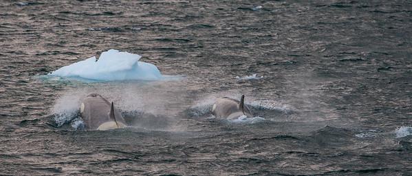 Orca Type B, Orcinus orca