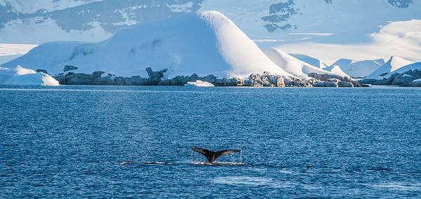 humpback whale, Megaptera novaeangliae (Balaenopteridae). Dallmann Bay, Antarctica