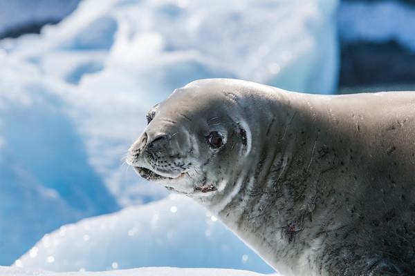crabeater seal, Lobodon carcinophagus (Phocidae). Pleneau Island Antarctica