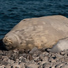 Weddell seal, <i>Leptonychotes weddellii</i> (Phocidae). Paulet Island Antarctica