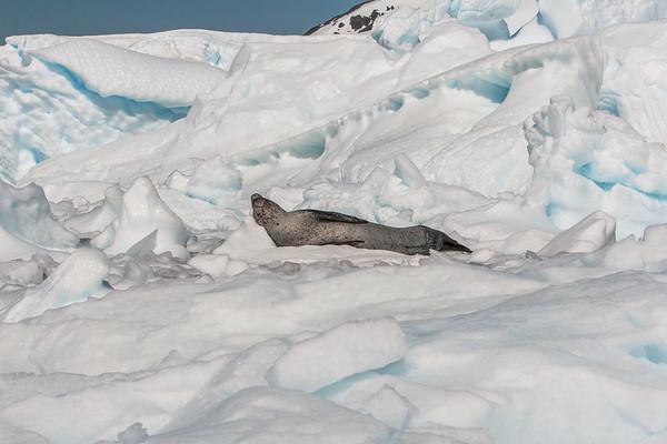 leopard seal, Hydrurga leptonyx (Phocidae). Pleneau Island Antarctica