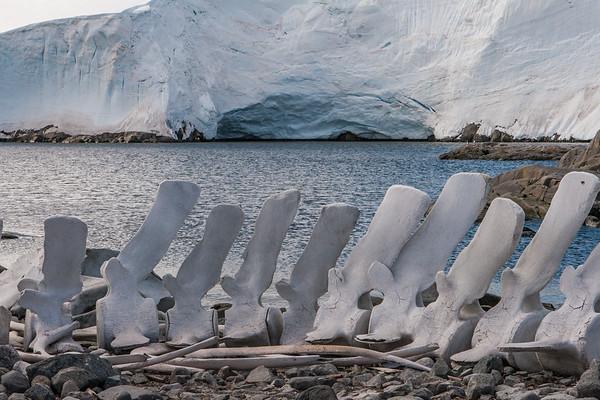 bones humpback whale, Megaptera novaeangliae (Balaenopteridae). Jougla Point, Wiencke Island Antarctica