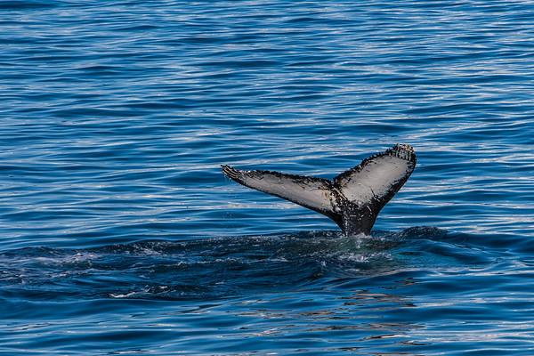humpback whale, Megaptera novaeangliae (Balaenopteridae). Gerlache Strait, Antarctica
