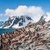 Adelie Penguins, Gentoo Penguins, & Blue-eyed Shags