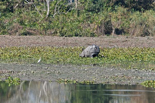 One-Horned Rhino, Rhinoceros unicornis. Kaziranga National Park, Tezpur, Assam India
