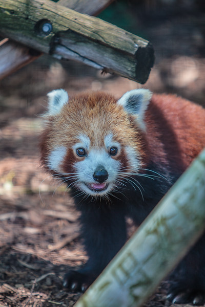 red panda (captive), Ailurus fulgens (Ailuridae). Adelaide Zoo. Adelaide Australia