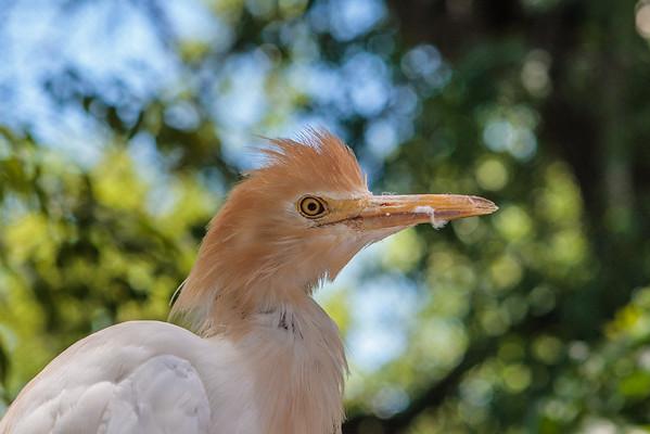 (captive ). Adelaide Zoo. Adelaide Australia