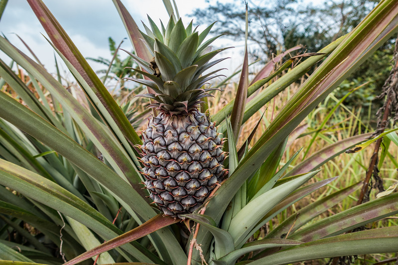 pineapple. Bangem, Southwest Region, Cameroon Africa