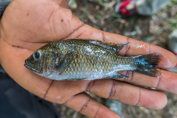 Cichlids from Bermin Lake caught by kids for food. Bermin, Southwest Region, Cameroon Africa
