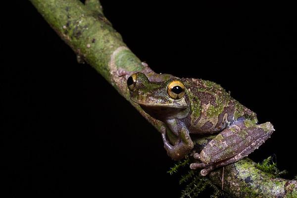 Osteocephalus cabrerai (Hylidae). EO Wilson trail, Shiripuno, Orellana Ecuador
