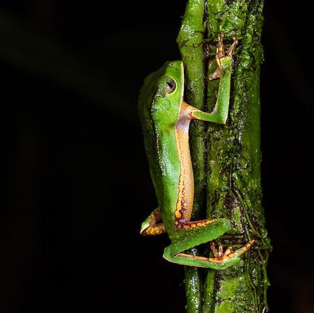 white-lined monkey frog, Phyllomedusa vaillanti (Hylidae). across river from lodge, Shiripuno, Orellana Ecuador