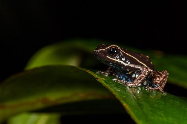 Ameerega hahneli (Dendrobatidae). Colibri to Bates loop, Shiripuno, Orellana Ecuador