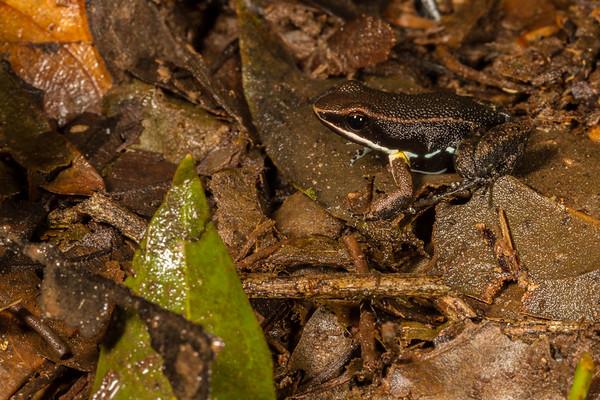 Allobates femoralis (Aromobatidae). Mirador trail, Shiripuno, Orellana Ecuador