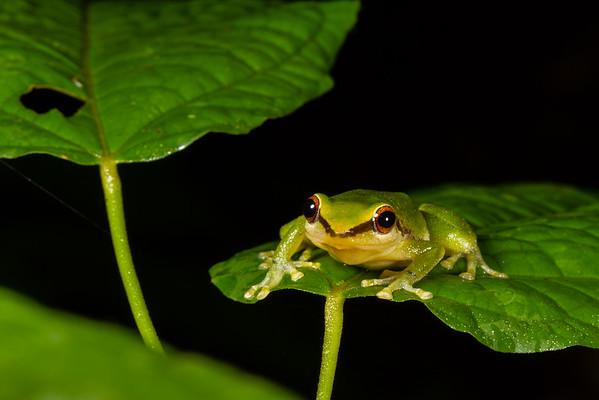 Canelos robber frog, Pristimantis acuminatus (Craugastoridae). Colibri trail, Shiripuno, Orellana Ecuador